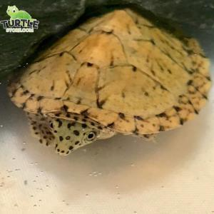 razorback musk turtle for sale