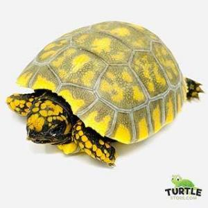 yellow footed tortoise for sale
