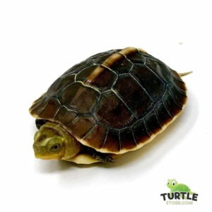 Chinese box turtle breeders