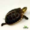 baby Chinese box turtle for sale