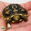 pancake tortoises for sale