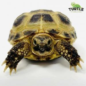 Russian tortoise lifespan