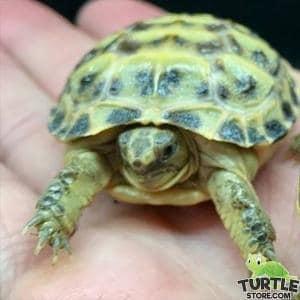Russian tortoise soaking