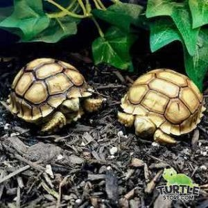 Sulcata tortoise light