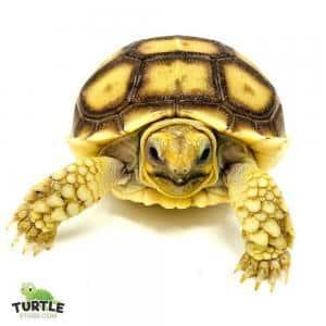 Sulcata tortoise size