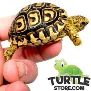 giant south african leopard tortoise humidity