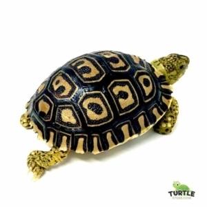 leopard tortoise size