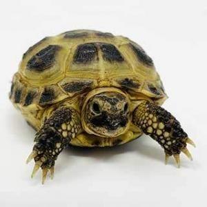 Russian tortoise breeder
