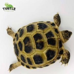 Russian tortoise lighting
