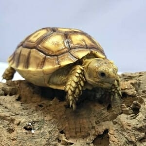 Sulcata tortoise humidity