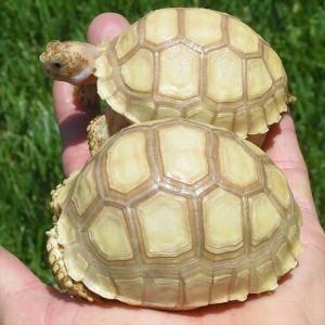 Sulcata tortoise temperature