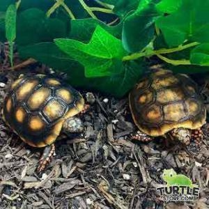 red footed tortoise substrate