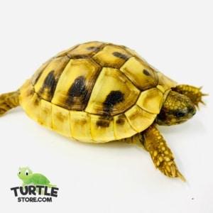 eastern hermann's tortoise temperature