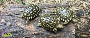 giant south african leopard tortoise water