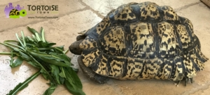 giant south african leopard tortoise lifespan