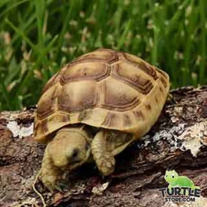 Golden Greek tortoise feeding