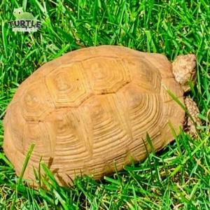 golden greek tortoise diet