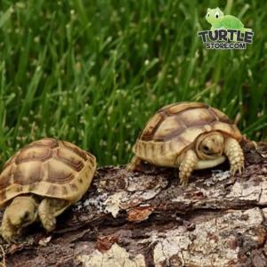 Golden Greek tortoise soaking