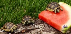 ibera greek tortoise diet