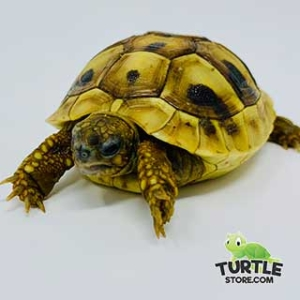 eastern hermann's tortoise care