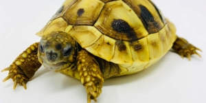 eastern hermann's tortoise water