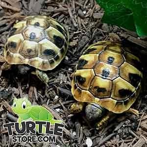 eastern hermann's tortoise size