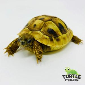 eastern hermann's tortoise habitat