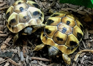 eastern hermann's tortoise substrate