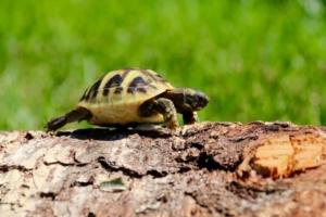 ibera greek tortoise size