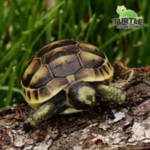 ibera greek tortoise temperature