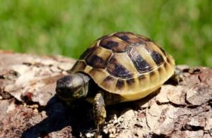 ibera greek tortoise feeding