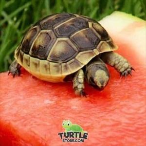 ibera greek tortoise appearance