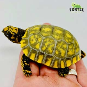 yellow footed tortoise care