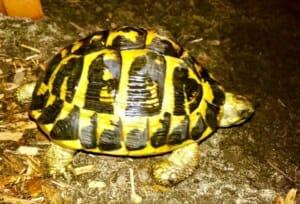 western hermann's tortoise appearance
