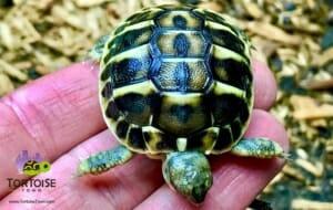 western hermann's tortoise feeding