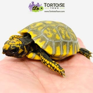 yellow foot tortoise diet