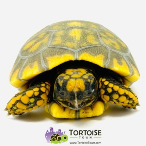 yellow foot tortoise habitat