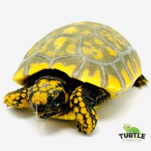 yellow footed tortoise size