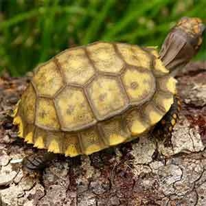 yellow footed tortoise soaking