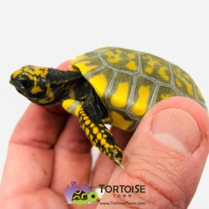 yellow footed tortoise diet