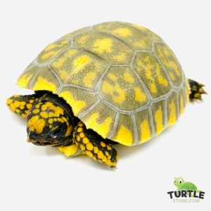 yellow footed tortoise water
