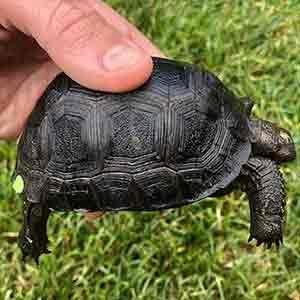 aldabra tortoise temperature