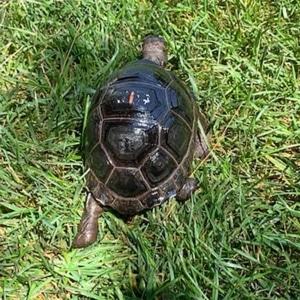 Aldabra tortoise enclosure