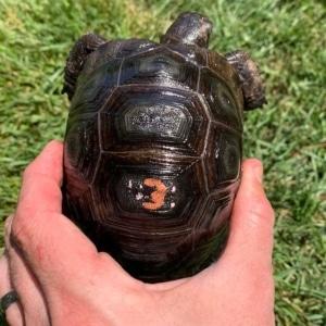 aldabra tortoise water