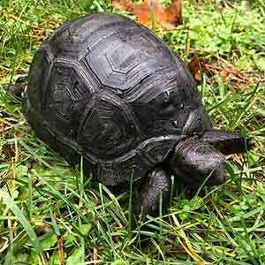 aldabra tortoise care